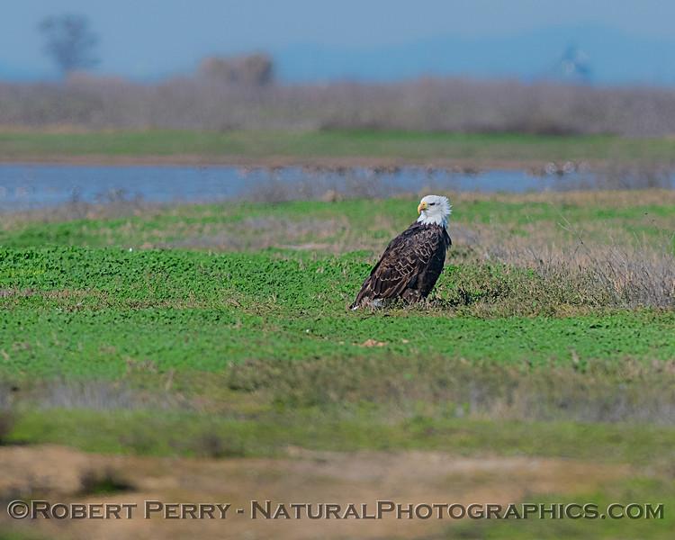 Bald eagle on the ground.