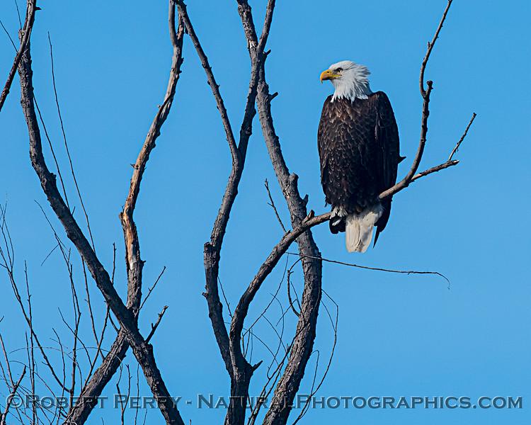 Bald eagle in a bare tree.