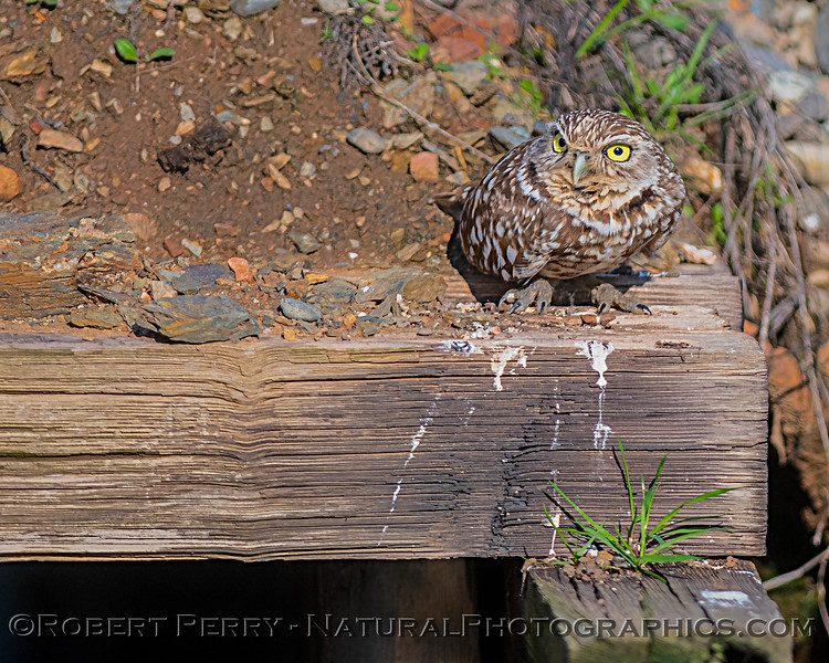 Burrowing owl sittin on a beam.