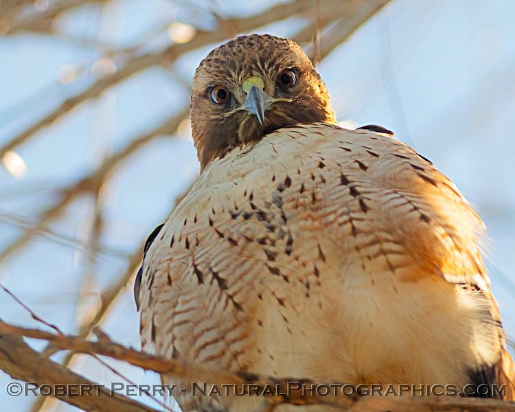 Red-tailed hawk eyeballs the camera lens.