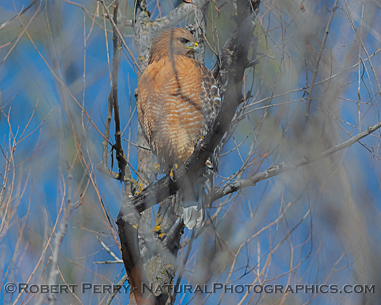 Red-shouldered hawk in tree.