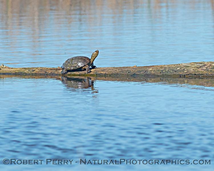 Northwestern pond turtle on log.