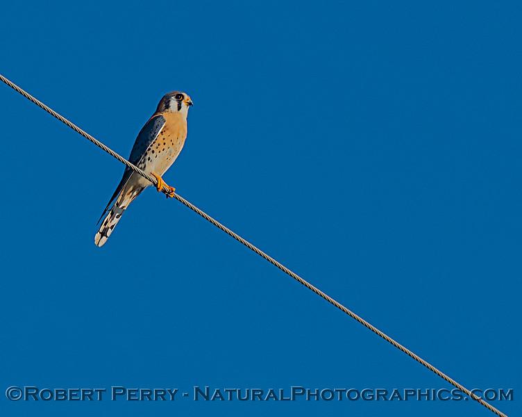 Falco sparverius 2020 02-01 Meiss Rd--008
