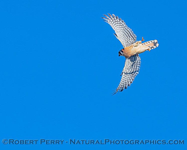 Falco sparverius in flight 2020 02-01 Meiss Rd--009