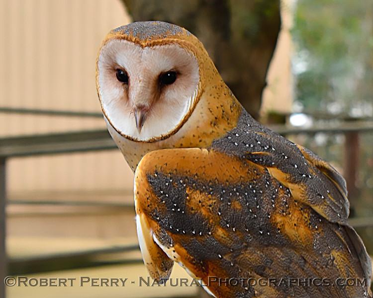 1-Tyto alba 02-15 Davis Raptor Center-002