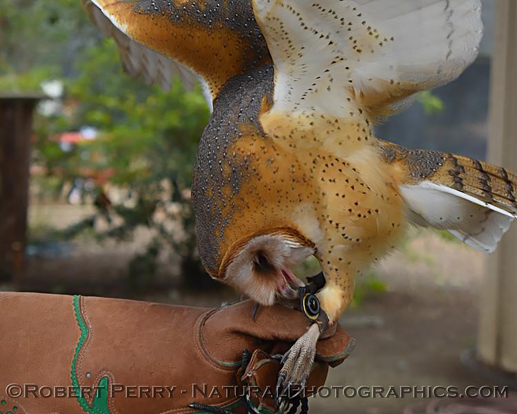 1-Tyto alba 02-15 Davis Raptor Center-003