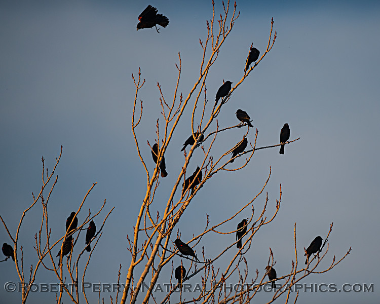 Red-winged black birds