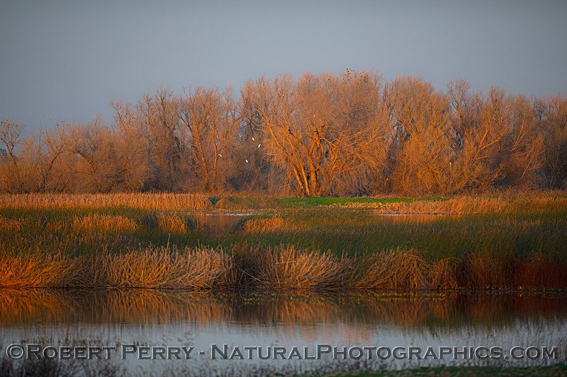 If you click to enlarge and look closely at the trees you will see several great white egrets and dozens of blackbirds.