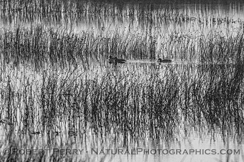 Sunrise silhouettes - wetlands plants & ducks 2020 02-18 Sunrise Sac NWR-o-060