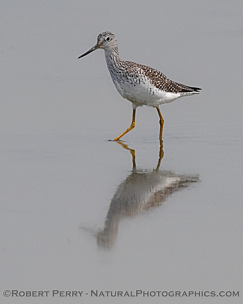 Tringa melanoleuca Greater yellowlegs VERTICAL 2020 02-28 Yolo ByPass-b-002