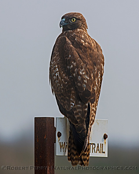 Buteo jamicensis JUV on sign 2020 02-28 Yolo ByPass--054