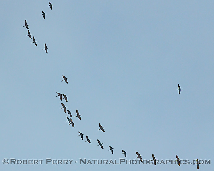 Grus canadensis Sandhill cranes flock in sky 2020 02-28 Yolo ByPass--001