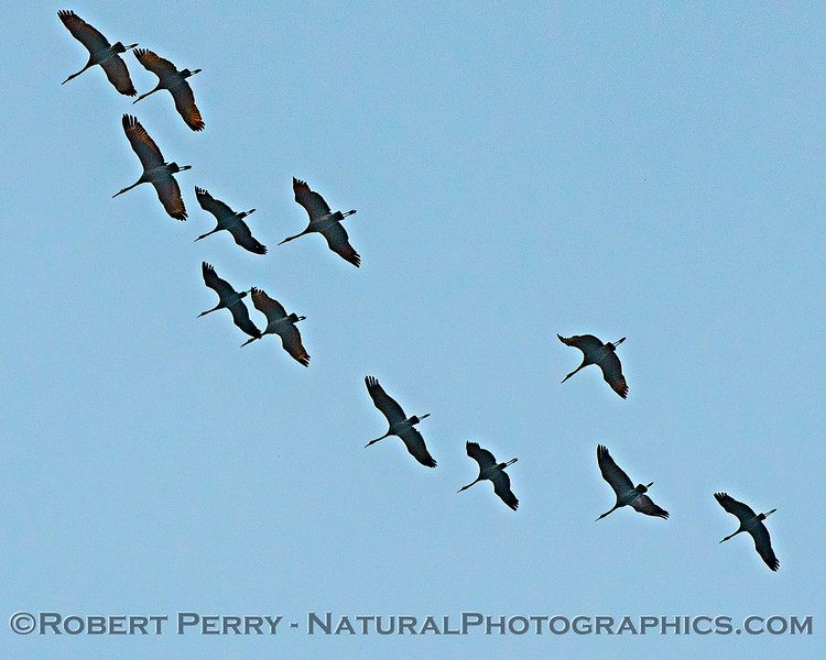 Grus canadensis Sandhill cranes flock in sky 2020 02-28 Yolo ByPass--002