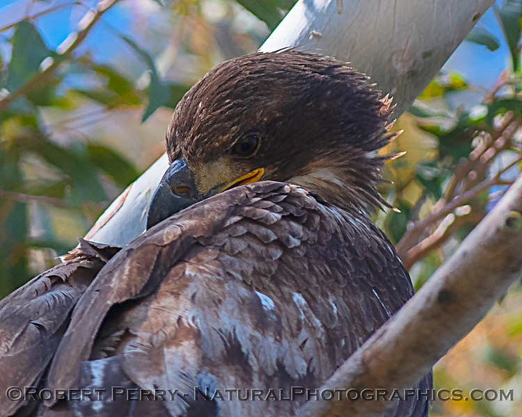 Close look at a Juvenile bald eagle grooming.