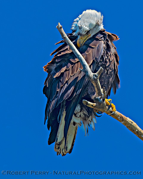 More grooming - bald eagle
