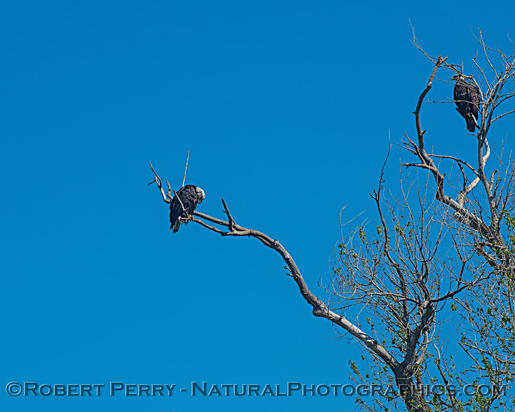 A pair of young adult bald eagles in the same tree.