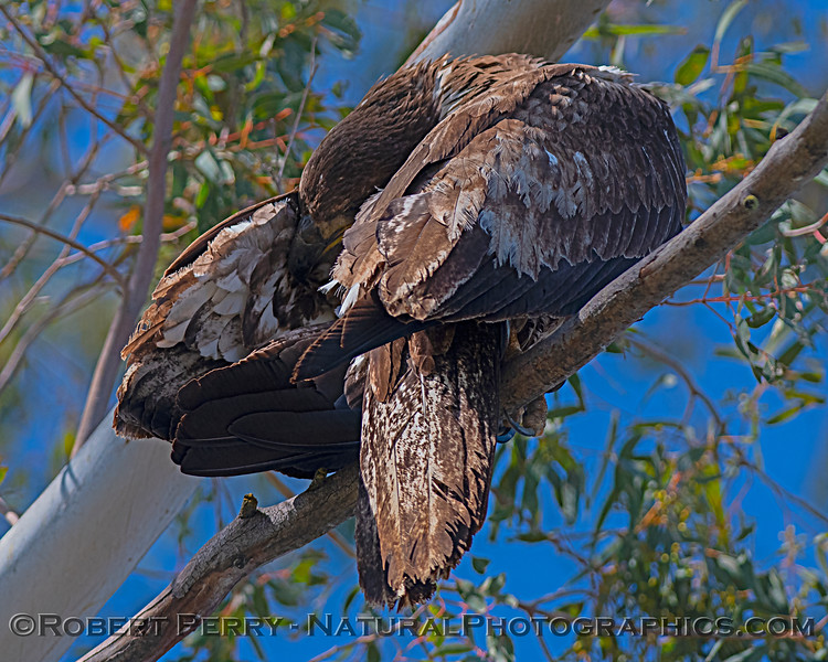 Juvenile bald eagle grooming.