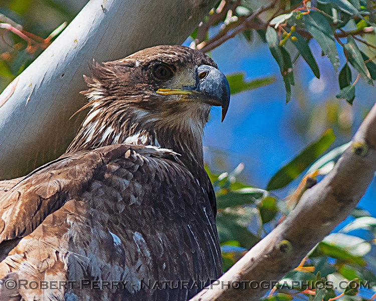 Close look at a Juvenile bald eagle.