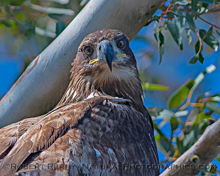 A fearless juvenile bald eagle looks down upon us from its perch in the trees that overhang the road.