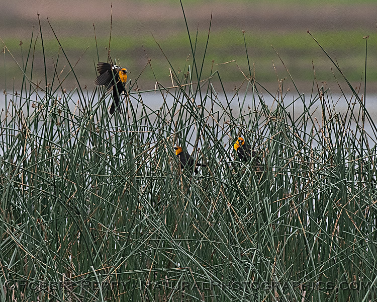 Yellow-headed blackbirds.