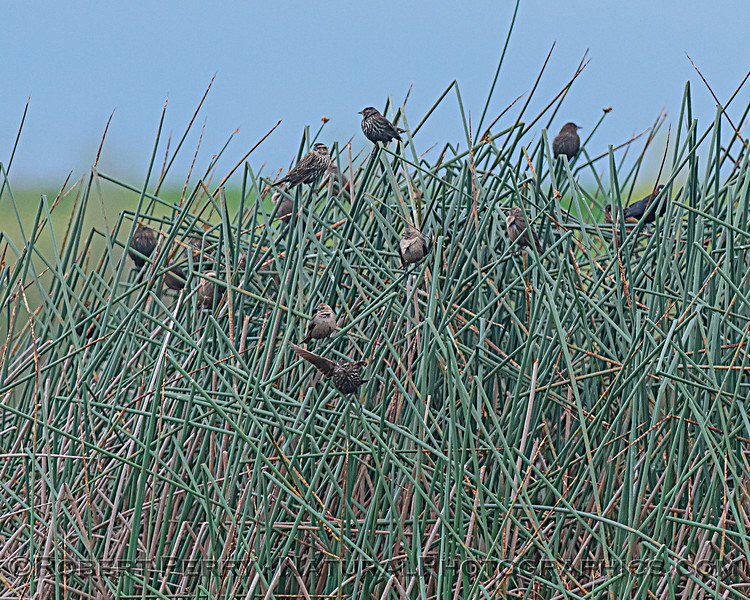 Female red-winged blackbirds.