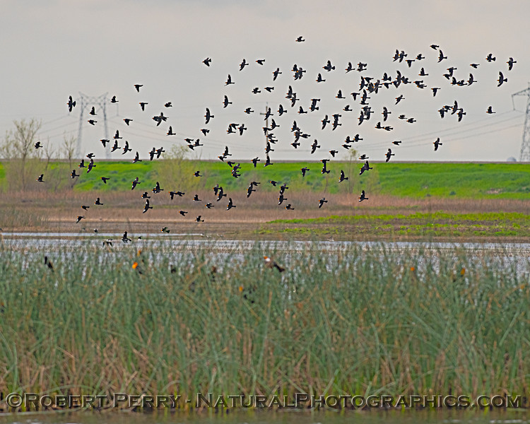 Flock of Yellow-headed blackbirds.