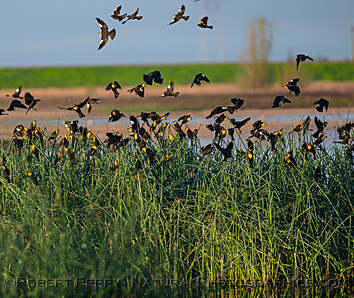 Xanthocephalus xanthcephalus flock in tule reeds 2020 03-20 Yolo ByPass--100
