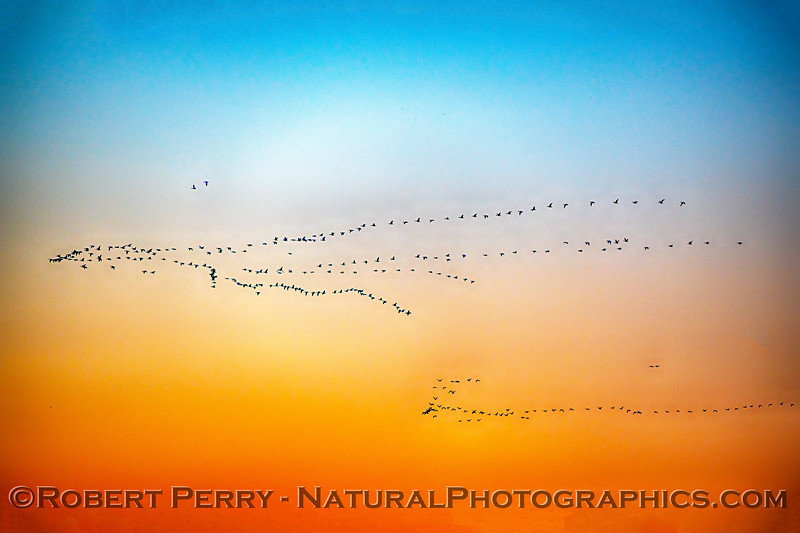 Branta canadensis flocks in sky at dawn 2020 03-20 Yolo ByPass--002