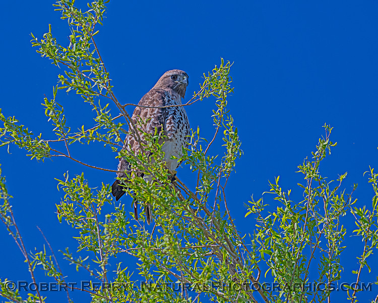 Red-tailed hawk enjoys the view.