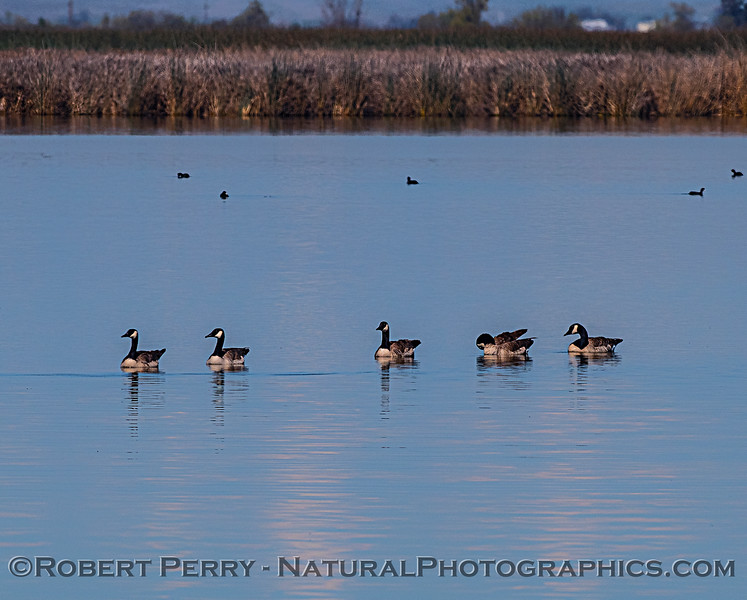 Canada geese floating on a smooth pond.