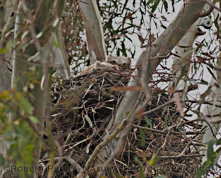Great horned owl nest with two little white juveniles.
