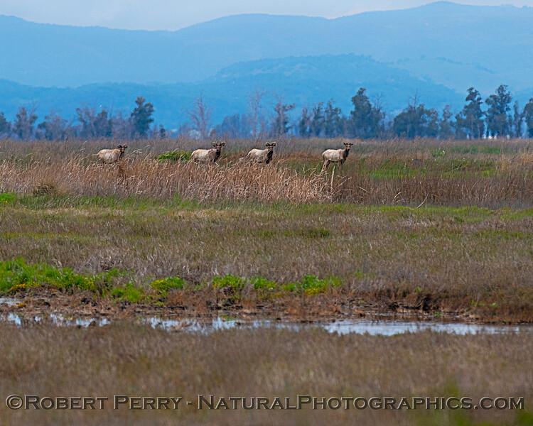 Tule elk stare-down contest.