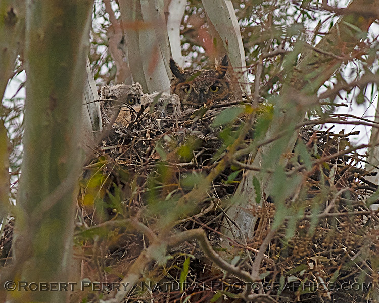 Great horned owl nest with 1 adult and two little white juveniles.