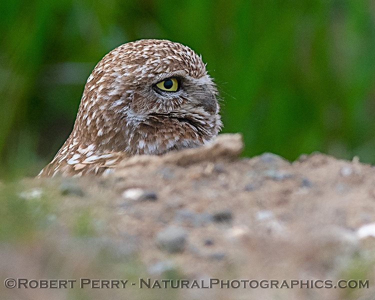 Burrowing owl.
