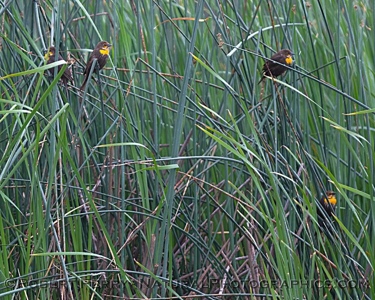 Yellow-headed blackbird females