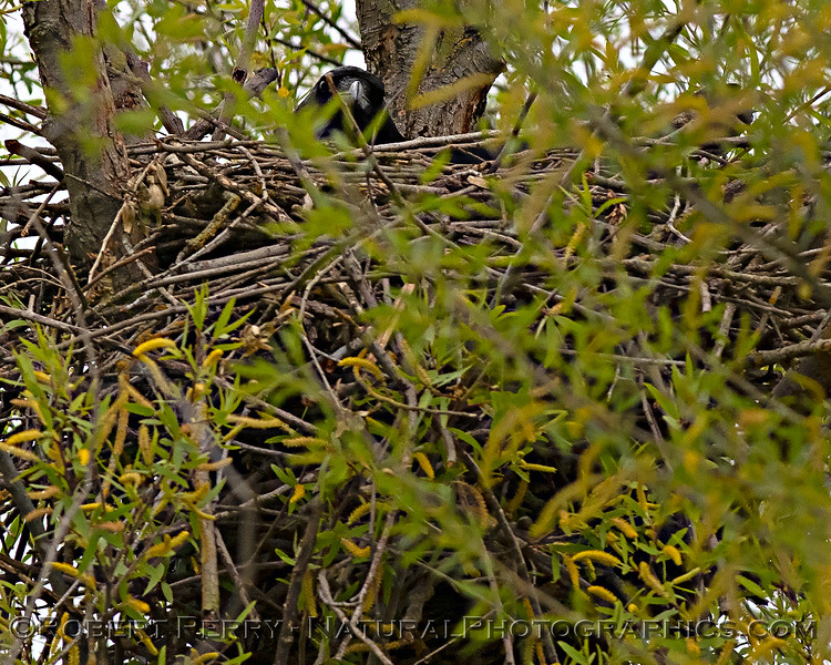 Raven in nest