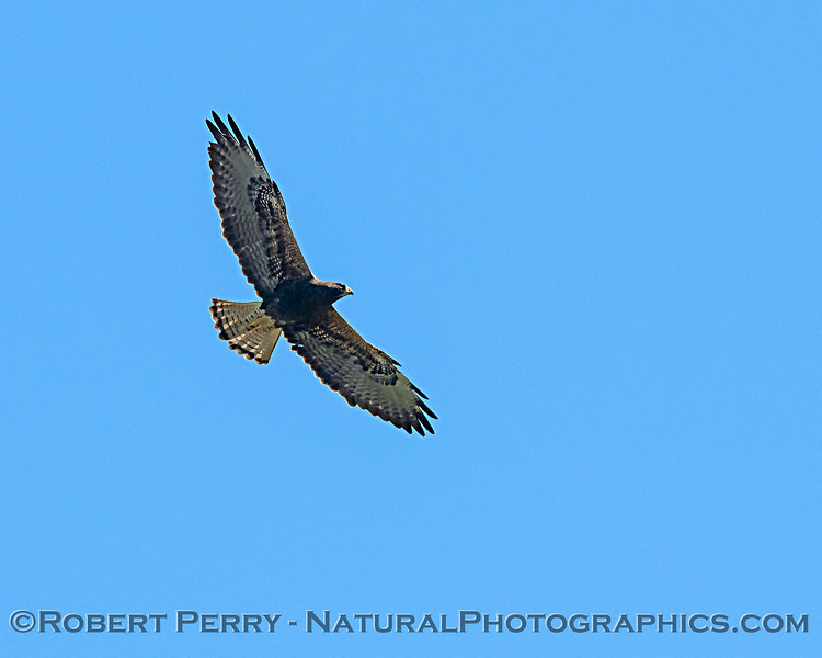 Swainson's hawk