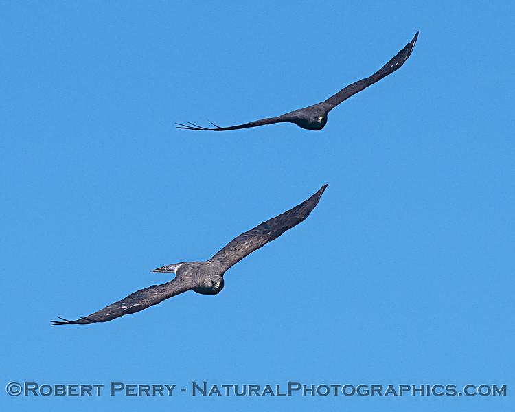 Swainson's hawks