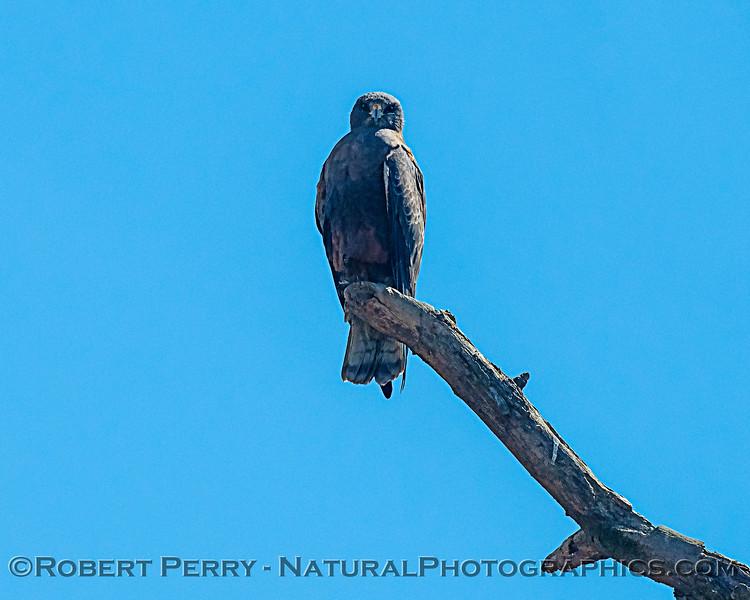 Swainson's hawk perched atop dead tree branch