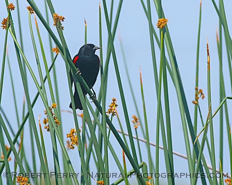 Red-winged blackbird on tule reed