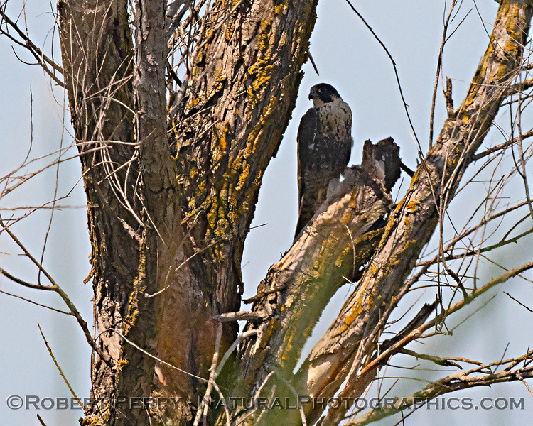 Enlarged view of peregrine falcon