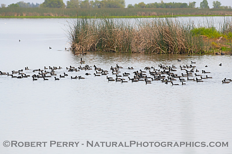 Flock of coots