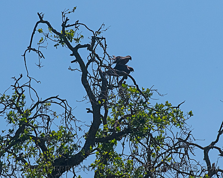 Swainson's hawks engaged in mating