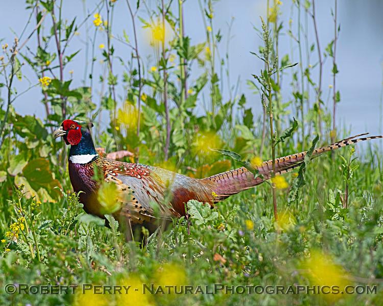 Ring-necked pheasant.