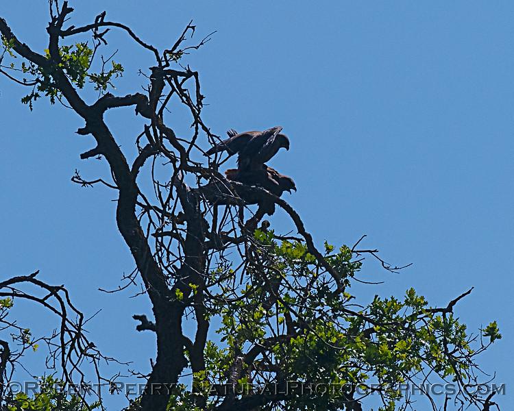 Swainson's hawks mating