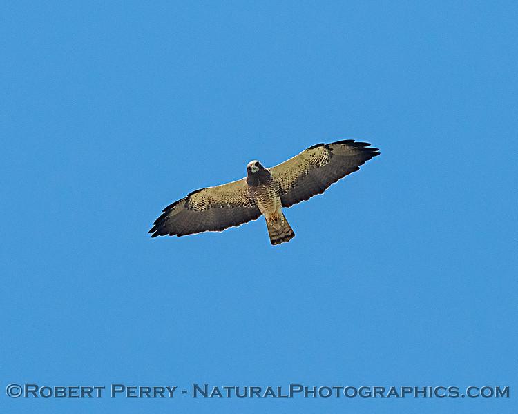 Swainson's hawk lookin down at the camera