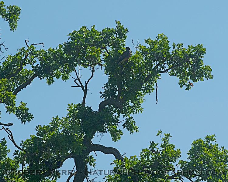 Swainson's hawk in tree