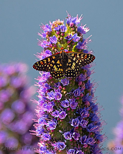 Checkerspot butterfly and Pride of Madeira flowers