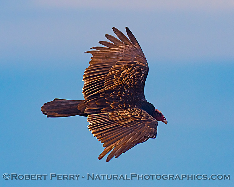 Magnficent turkey vulture soaring along the Big Sur cliffs.
