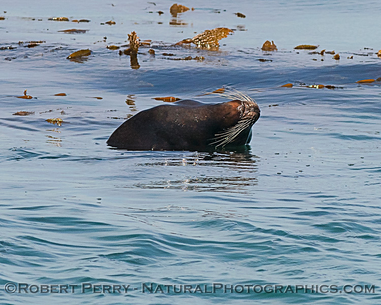 An arching sea lion with nice vibrissae